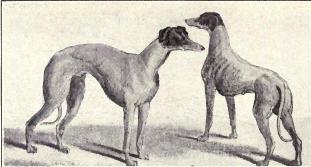 Kangaroo_Greyhound