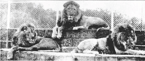 Lions at South Perth Zoo